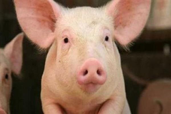حكم زراعة كلية خنزير في جسم الإنسان.. الإفتاء توضح