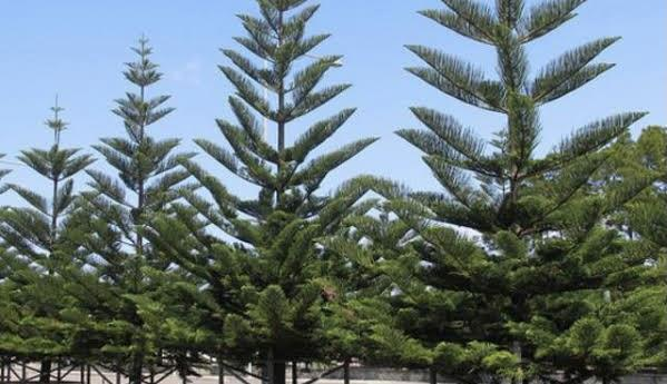 نباتات عملاقة.. لهذا السبب تتعرض أشجار للميل عند زراعتها